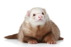 Polecat que encontra-se em um fundo branco Fotografia de Stock