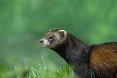 Polecat with room on left for text stock images
