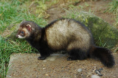 Polecat sitting on stone Royalty Free Stock Photography
