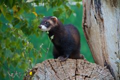Polecat Up A Tree Royalty Free Stock Photography