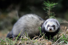 Polecat. Wild polecat in forest, on blurred background stock images