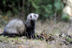 Polecat. Wild polecat in summer forest royalty free stock photos