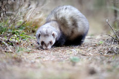 Polecat. Wild polecat in summer forest royalty free stock photography