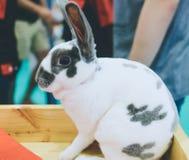 Polek kropki, czarny i biały królik uroczy Fotografia Stock