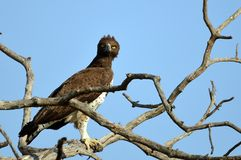 Polemaetus bellicosus (Martial eagle). In Kruger National Park, South Africa stock photos