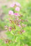 Polemonio de las flores contra fondo verde borroso Foto de archivo libre de regalías