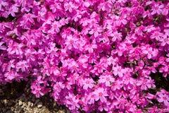 Polemonio de musgo rosado Fotos de archivo libres de regalías