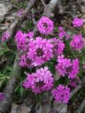Polemonio del wildflower de Missouri en las ramas Imagen de archivo
