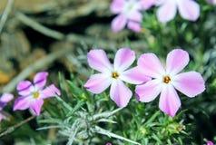 Polemonio espinoso rosado de California, californicum de Leptodactylon fotos de archivo libres de regalías