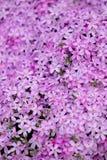 Polemonio floreciente en cama de flor Foto de archivo libre de regalías