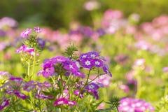 Polemonio rosado floreciente en el jardín Imagen de archivo libre de regalías