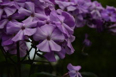 Polemonio violeta imagenes de archivo