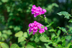 Polemonios rosados del jardín (paniculata del polemonio) Fotografía de archivo