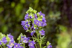 Polemonium caeruleum beautiful flowers in bloom, wild blue flowering plant stock image