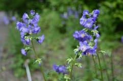 Polemonium caeruleum called Jacob`s-ladder royalty free stock images