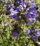 Polemonium caeruleum royalty free stock photo