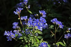 Free Polemonium Caeruleum Plant Stock Photo - 113471780