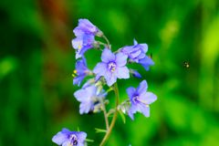 Free Polemonium. Cultivated Flower. Stock Photos - 108102113