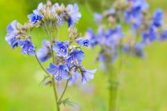 Polemonium das flores Imagens de Stock