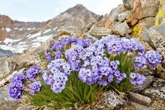 Polemonium Eximium Flower (Jacob's Ladder, Skypilot). Purple wildflower on mountain pass in the Sierra Nevada, California Stock Images