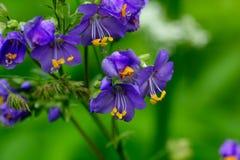 Polemonium Fleur cultivée image libre de droits