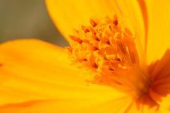 Polen amarillo de la flor Fotos de archivo libres de regalías