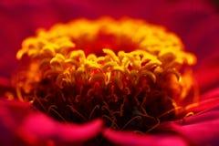 Polen amarillo de la flor roja Foto de archivo