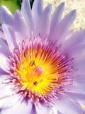 Polen amarillo del lirio de agua púrpura Fotos de archivo