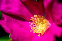 Polen amarillo en un flor rosado Imagen de archivo