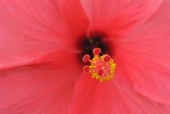 Polen amarillo rojo del cierre rojo de la flor para arriba Foto de archivo libre de regalías