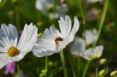 Polen blanco de alimentación del cosmos del trabajador de la abeja en campo Imágenes de archivo libres de regalías
