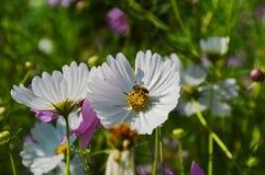 Polen blanco de alimentación del cosmos del trabajador de la abeja en campo Foto de archivo