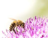 Polen collecing de la abeja en una flor gigante de la cebolla Fotografía de archivo