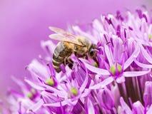 Polen collecing de la abeja en una flor gigante de la cebolla Imágenes de archivo libres de regalías