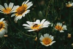 Polen de cogida de la abeja de una margarita blanca Foto de archivo