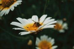 Polen de cogida de la abeja de una margarita blanca foto de archivo libre de regalías