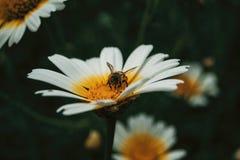Polen de cogida de la abeja de una margarita blanca imagenes de archivo