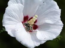 Polen de la abeja cubierto en un hibisco Imagen de archivo libre de regalías