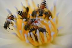 Polen de la abeja, néctar en un loto, hermosa vista Fotografía de archivo libre de regalías