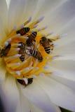 Polen de la abeja, néctar en un loto, hermosa vista Fotos de archivo