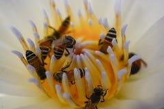 Polen de la abeja, néctar en un loto, hermosa vista Foto de archivo