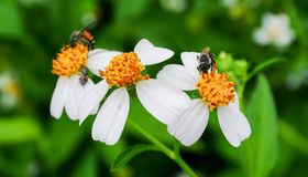 Polen de la abeja que busca el jugo dulce Fotos de archivo