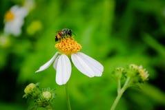 Polen de la abeja que busca el jugo dulce Fotos de archivo libres de regalías
