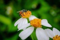 Polen de la abeja que busca el jugo dulce Foto de archivo libre de regalías