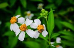 Polen de la abeja que busca el jugo dulce Imágenes de archivo libres de regalías