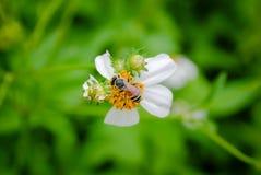 Polen de la abeja que busca el jugo dulce Fotografía de archivo