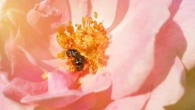 Polen de la abeja y rosa del rosa en fondo de la naturaleza con luz del sol Foto de archivo libre de regalías