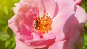Polen de la abeja y rosa del rosa en fondo de la naturaleza con luz del sol Imagen de archivo