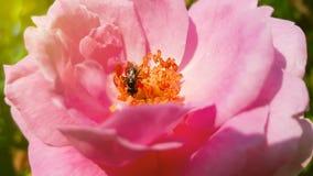 Polen de la abeja y rosa del rosa en fondo de la naturaleza con luz del sol Fotos de archivo libres de regalías
