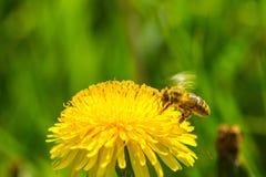 Polen de la cosecha de la abeja de la flor del diente de león Fotografía de archivo